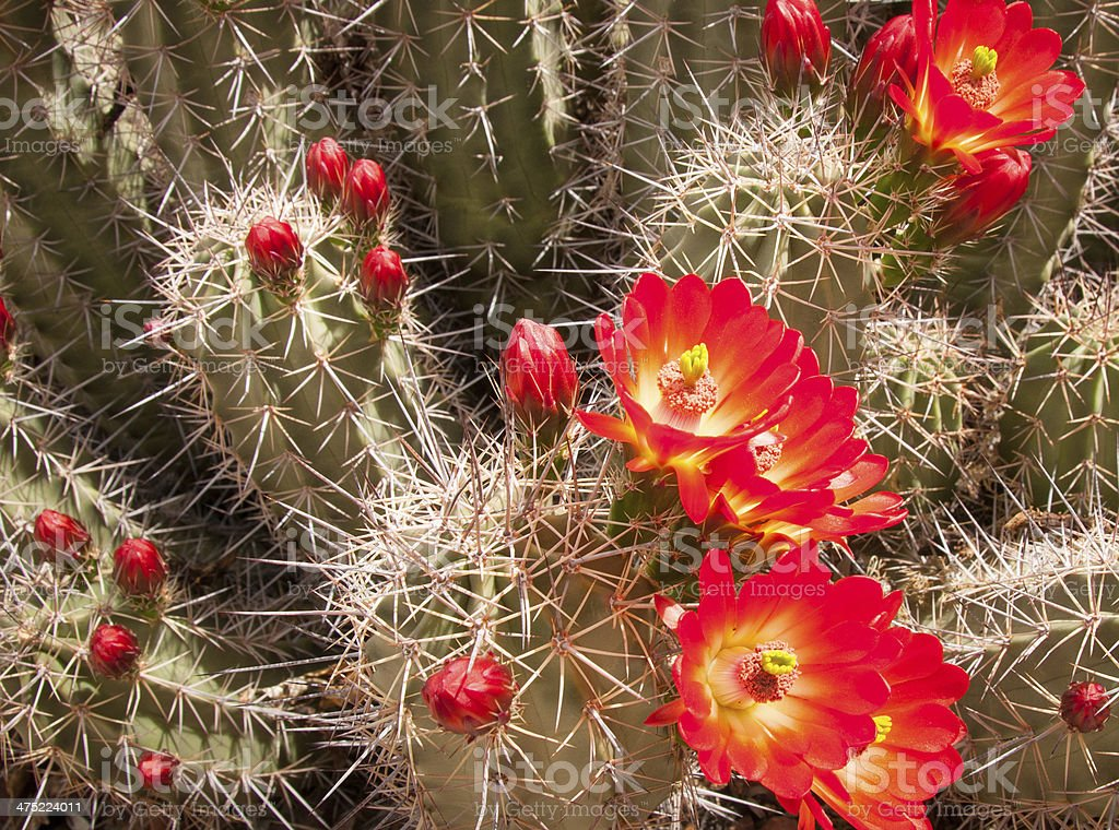 Blooming claret cup hedgehog cactus stock photo