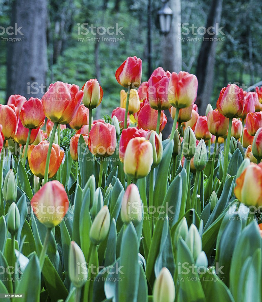 Blooming Colorful Tulips in Flower Garden royalty-free stock photo