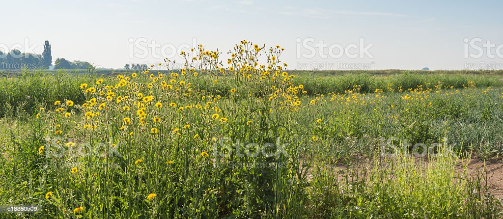 Blooming Corn Sow Thistle plants in an agricultural field stock photo