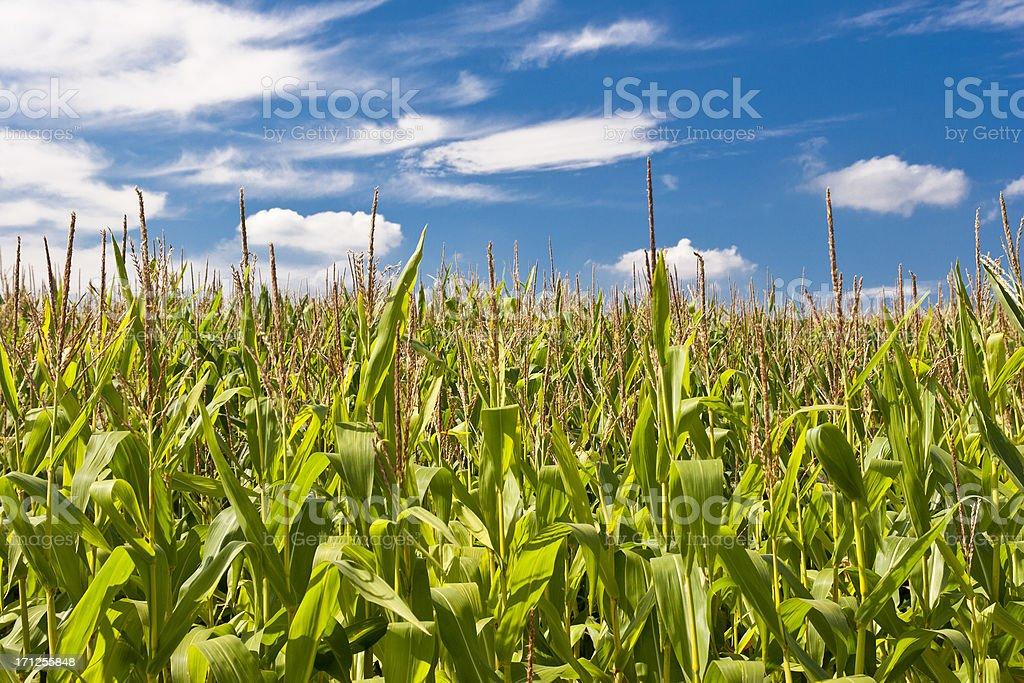 Blooming Cornfield stock photo