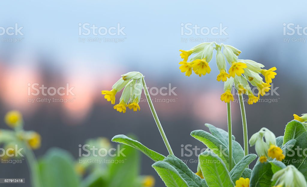 Blooming cowslips, Primula veris, copyspace in the photo stock photo