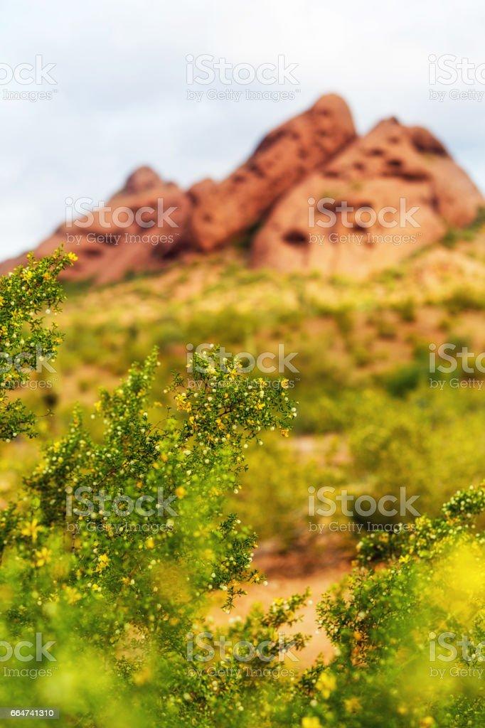 Blooming Creosote Bush at Papago Park stock photo
