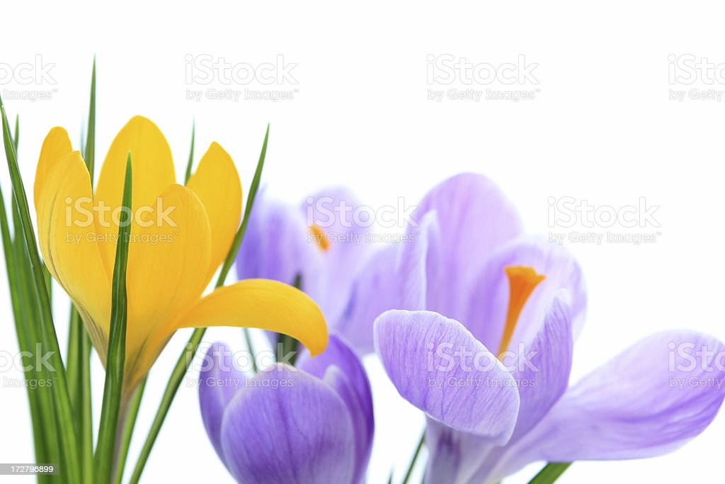 Blooming crocuses. royalty-free stock photo