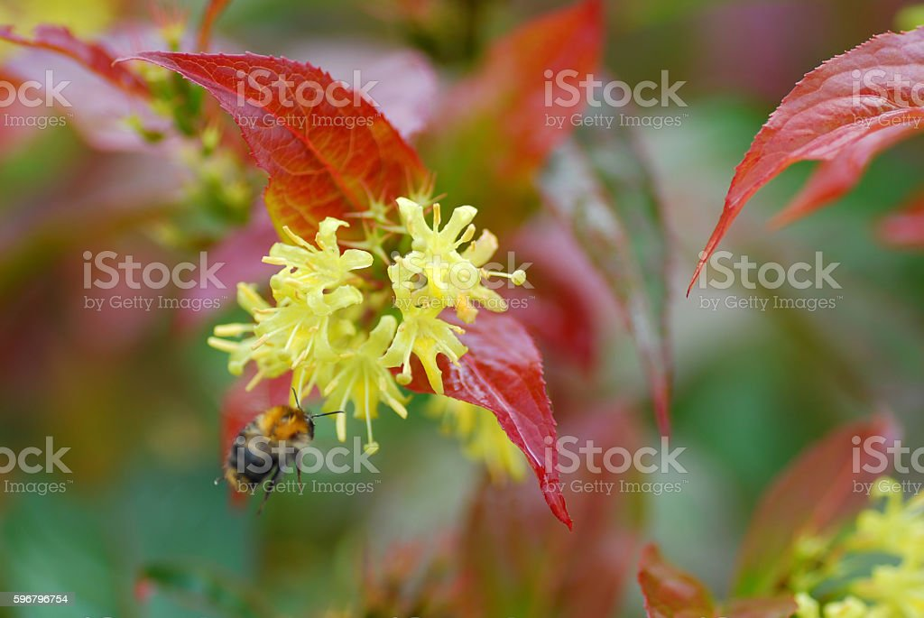 Blooming D. sessilifolia  with flying bombus in the air. stock photo