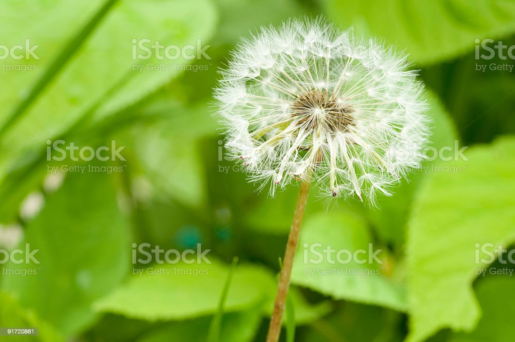 blooming dandelion stock photo