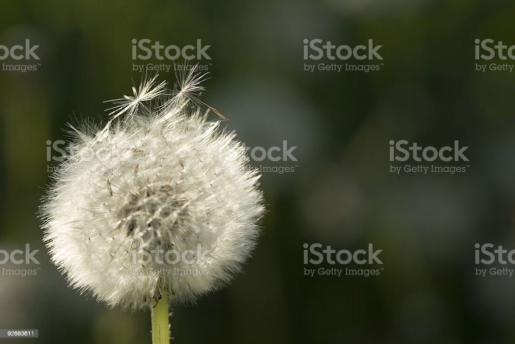 Blooming dandelion royalty-free stock photo