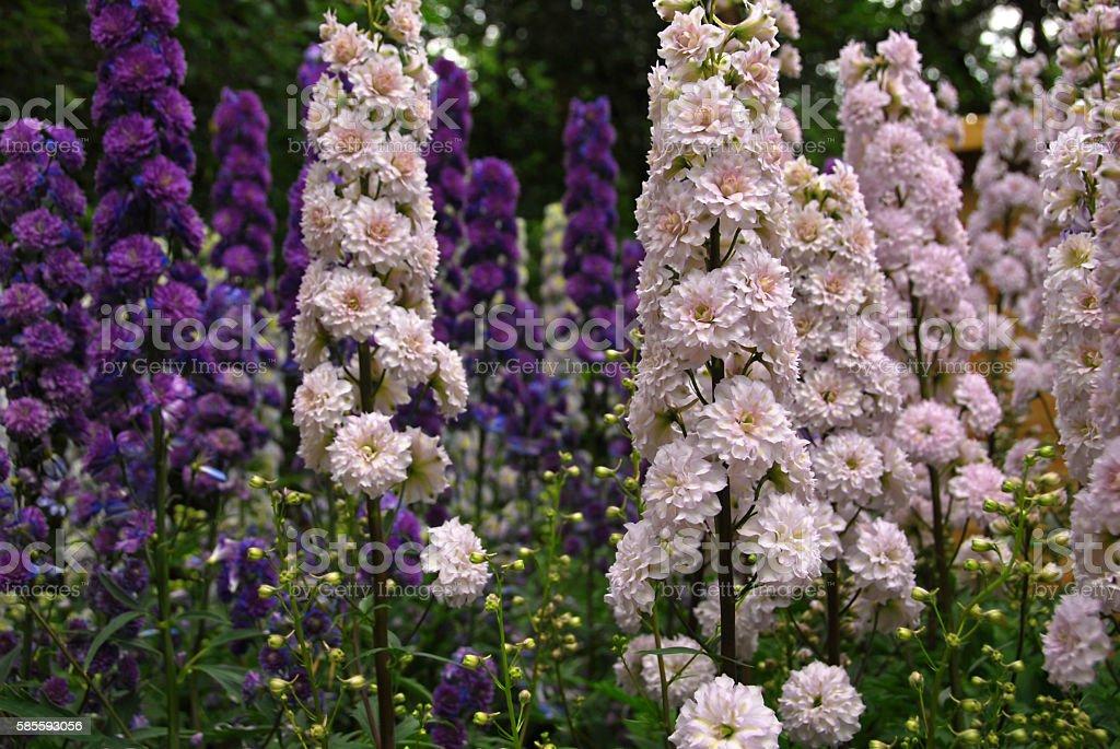Blooming Delphinium Highlander Cha Cha stock photo