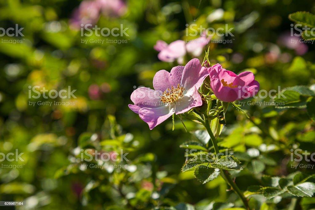 Blooming dog-rose. stock photo