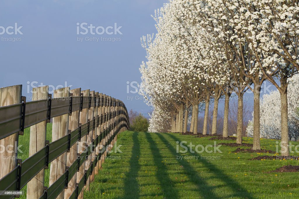 Blooming dogwood trees and fence stock photo