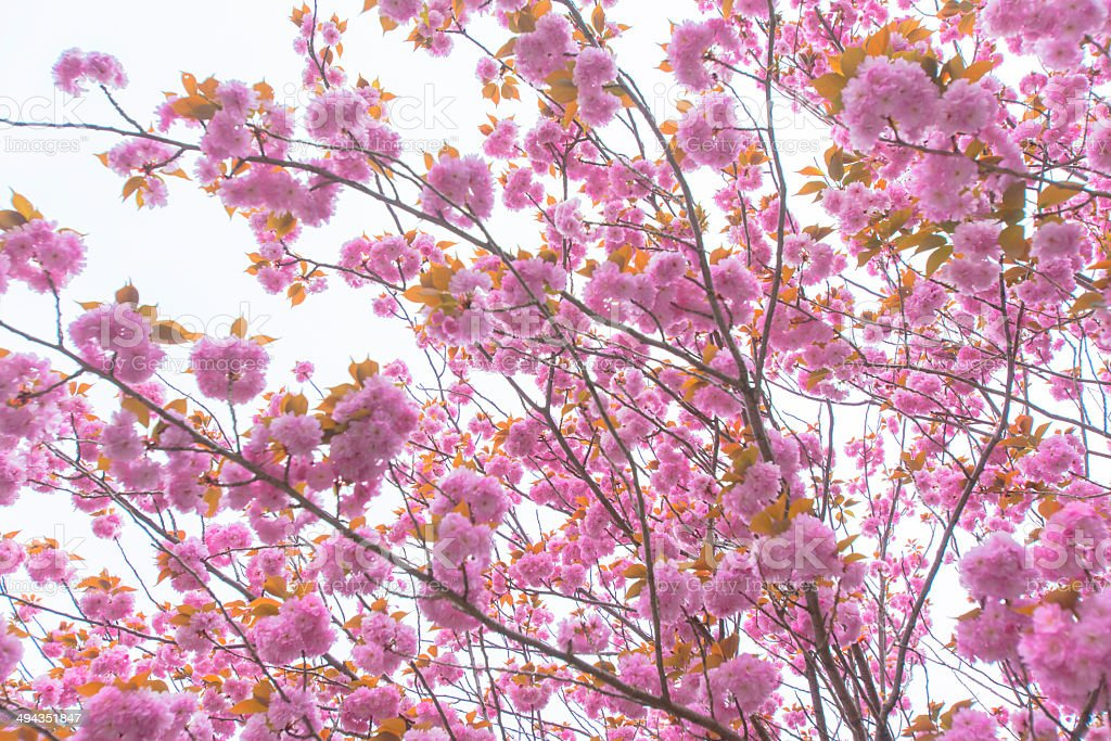 Blooming double cherry blossom tree and sky royalty-free stock photo