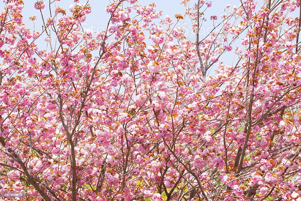 Blooming double cherry blossom tree royalty-free stock photo