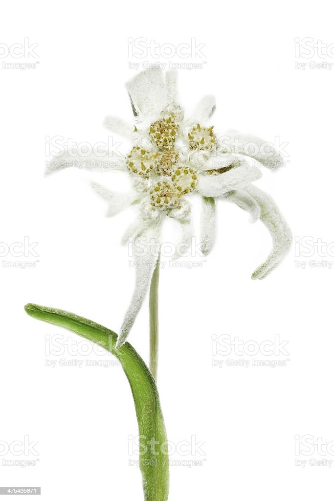 Blooming Edelweiss Flower stock photo