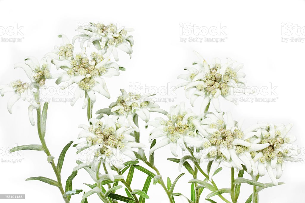 Blooming Edelweiss Flowers (Leontopodium alpinum) stock photo