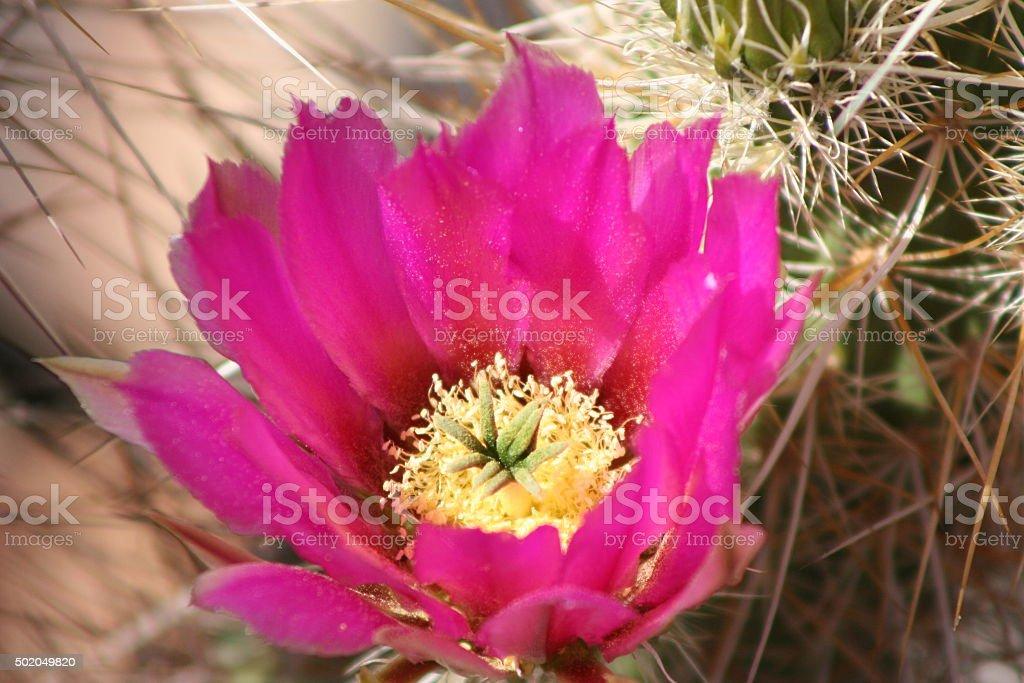 Blooming Engelmann's Hedgehog Cactus stock photo
