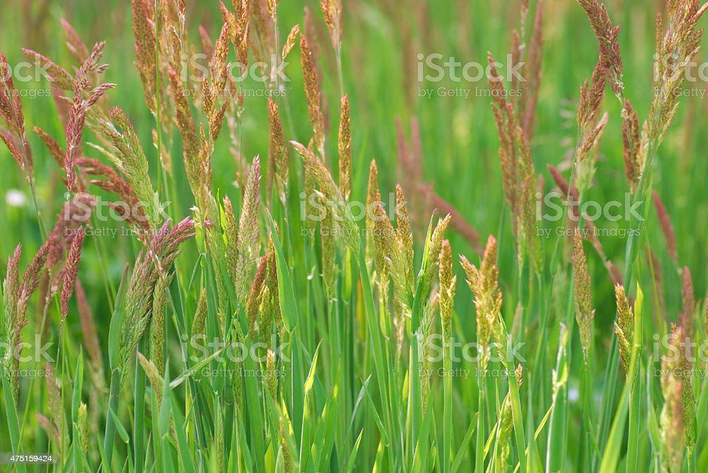 Blooming Festuca Rubra wrapped in sunlight stock photo