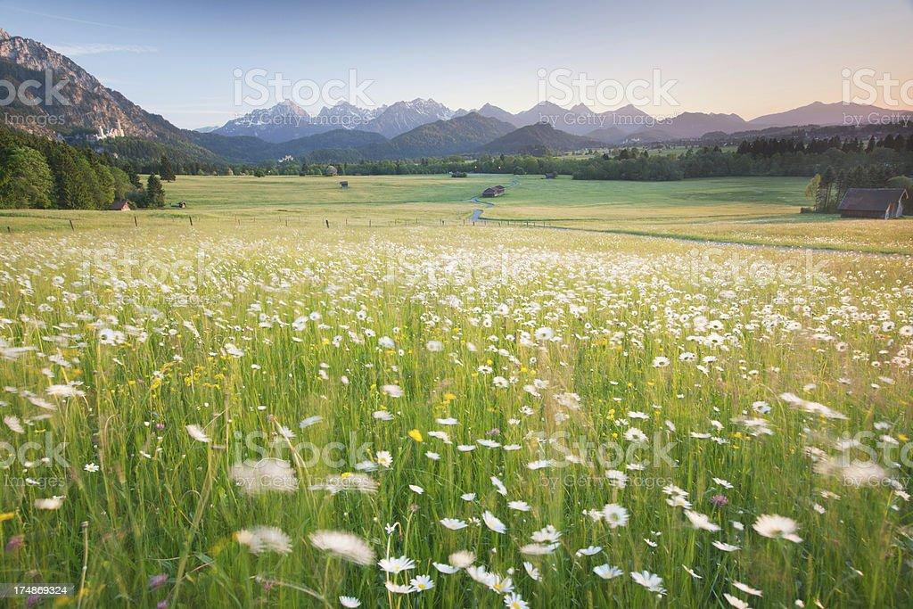 blooming field, bavarian ostallgäu, bavaria, germany, view on the alps stock photo