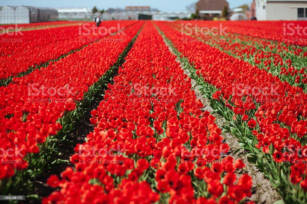 Florescendo tulipas vermelhas campo foto royalty-free