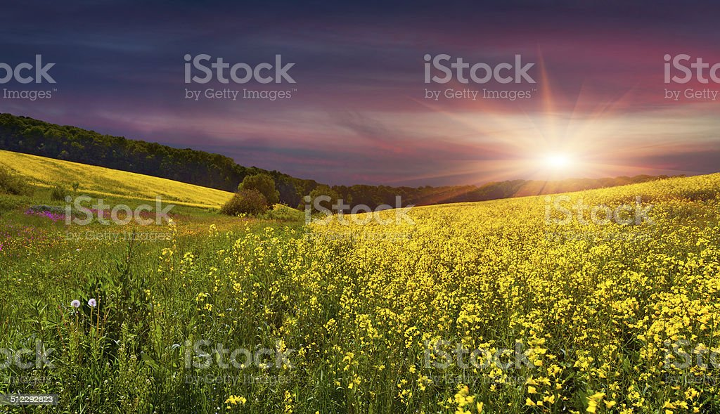 Blooming field of yellow flowers. stock photo