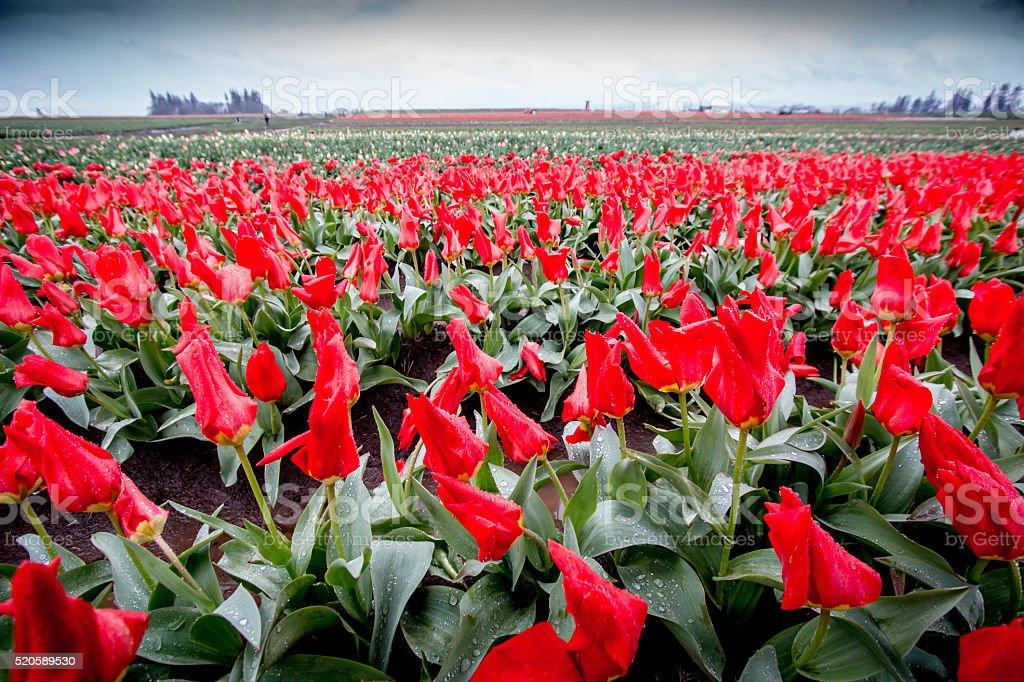 Blooming  Field Red Tulips Woodburn Portland Oregon Farm Spring Flowers stock photo