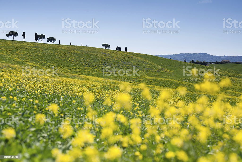 blooming field with soft focus - italy, tuscany royalty-free stock photo