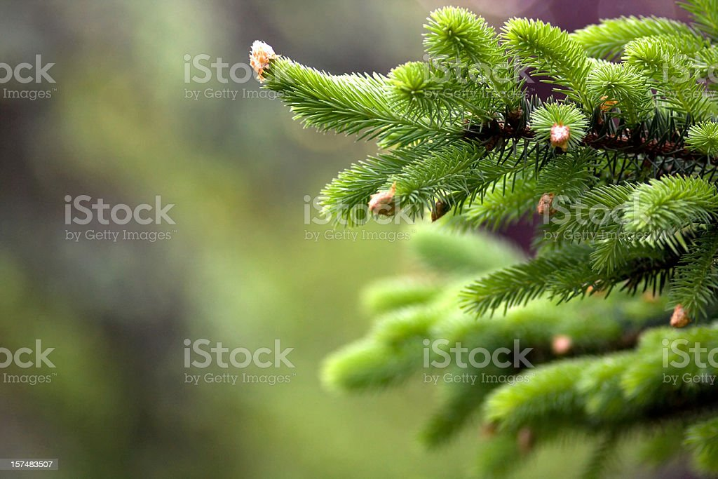 Blooming fir tree royalty-free stock photo