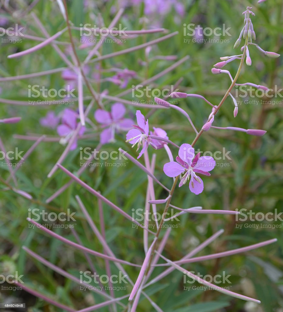 Blooming fireweed stock photo