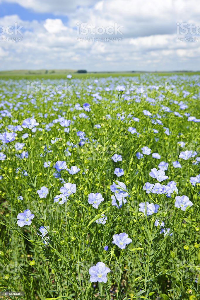 Blooming flax field royalty-free stock photo