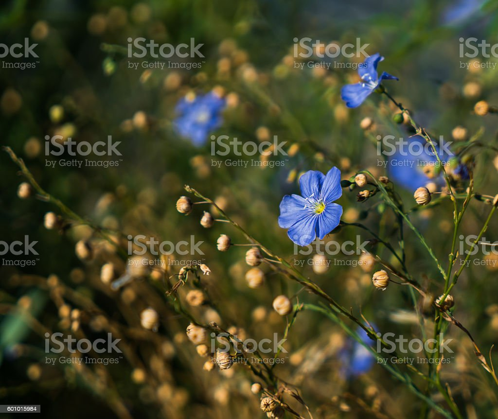 Blooming Flax Plant stock photo