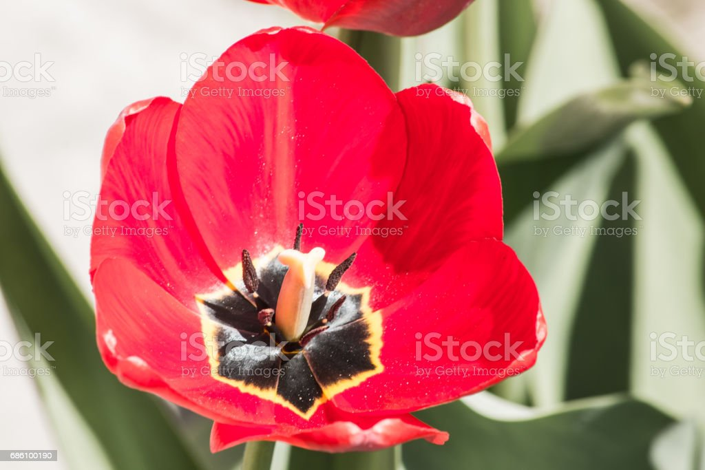 Blooming flower of a red tulip macro close stock photo