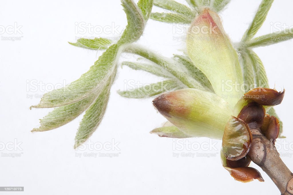 blooming flower of chestnut stock photo