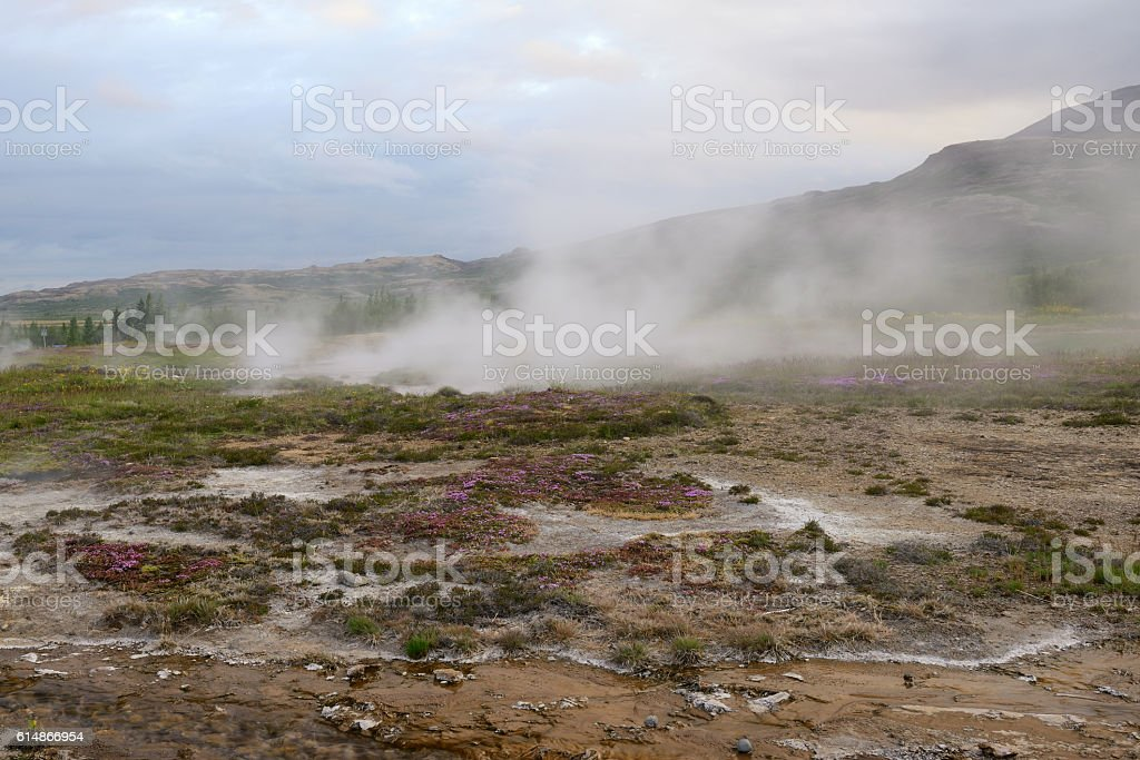 Blooming flowers at Geysir Hot Springs in Iceland stock photo