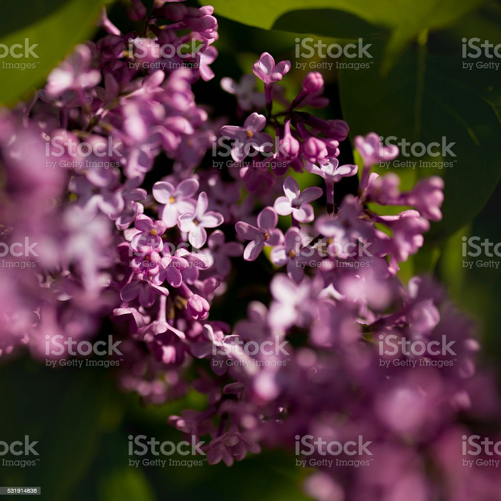 Blooming flowers of lilac stock photo