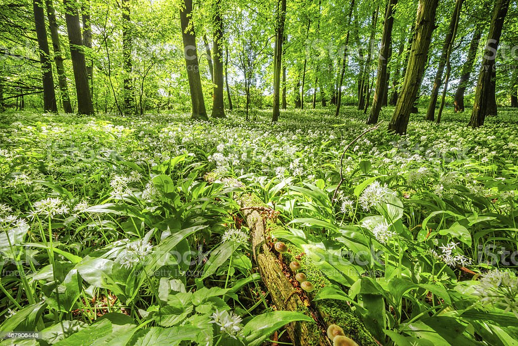 blooming Forest with old tree trunk stock photo
