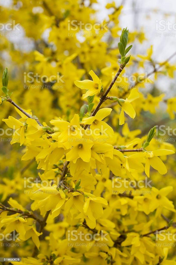 Blooming Forsythia stock photo