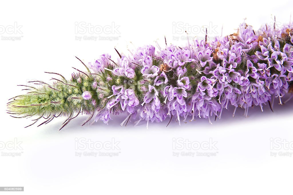 Blooming fragrant mint stock photo