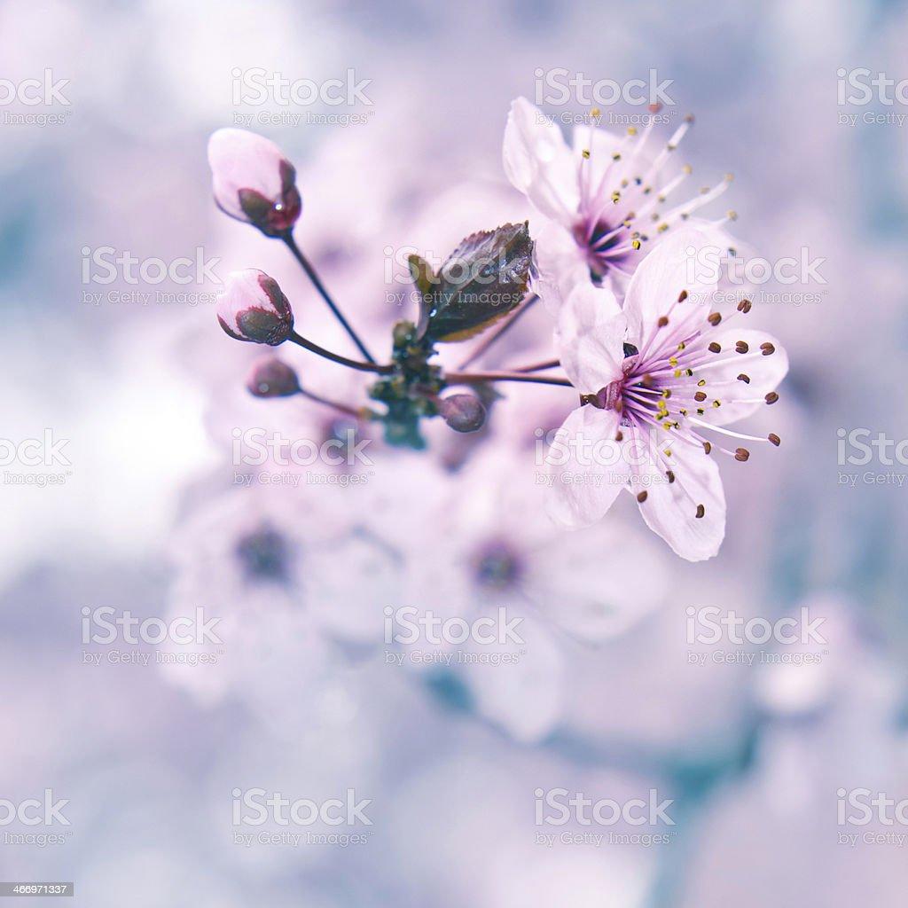 Blooming fruit tree stock photo