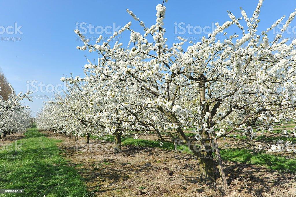 Blooming fruit trees in spring in Haspengouw,Flanders,Belgium stock photo