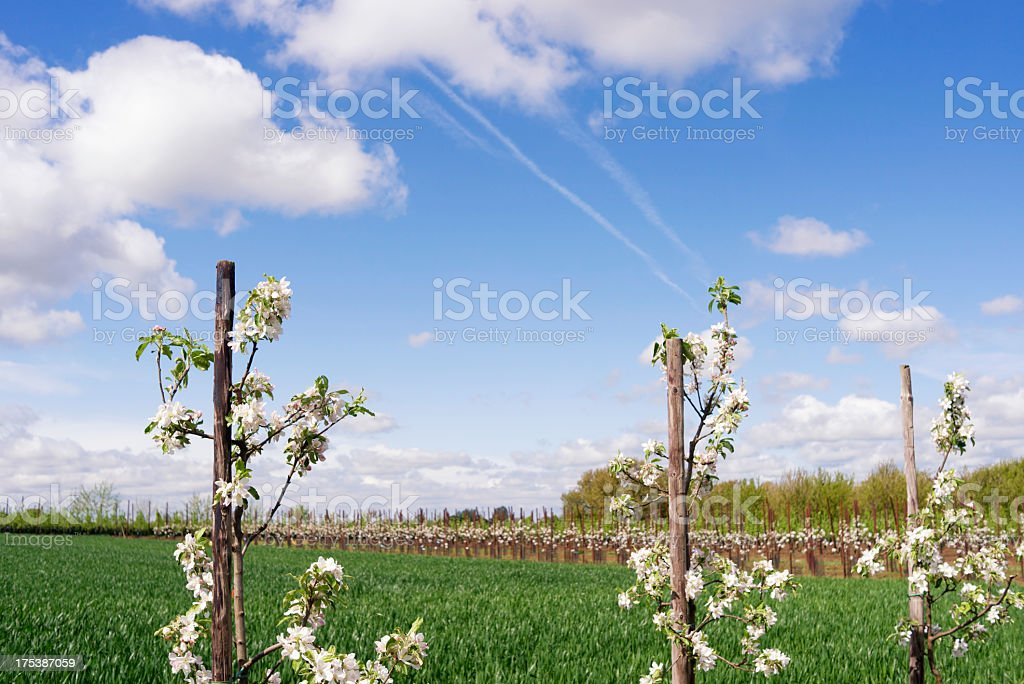 Blooming fruit trees stock photo