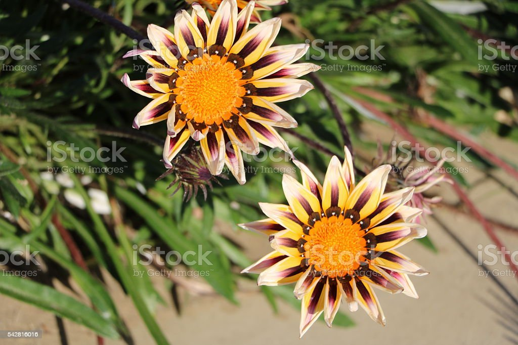Blooming Gazania Hybride in Rimini, Italy stock photo