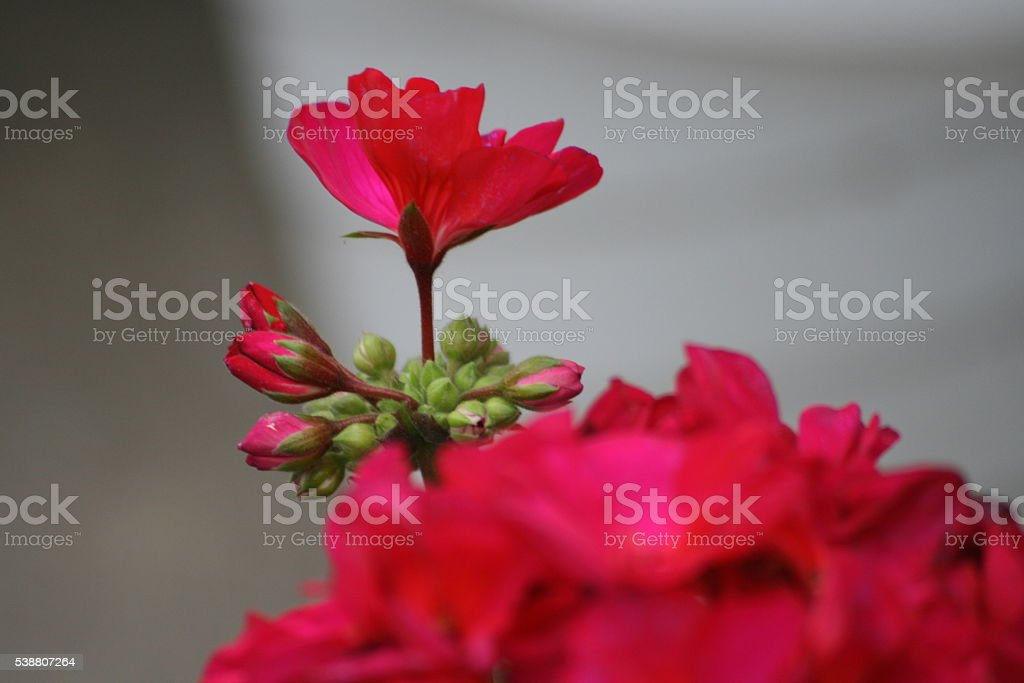 Blooming Geranium stock photo