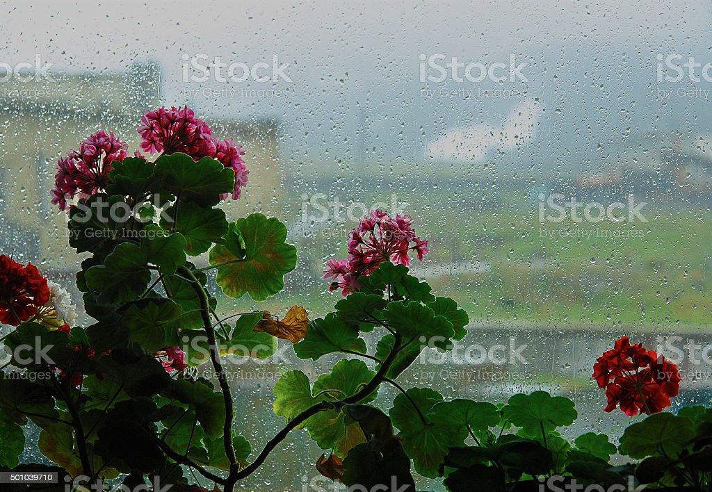 Blooming geraniums on a   rainy window. stock photo