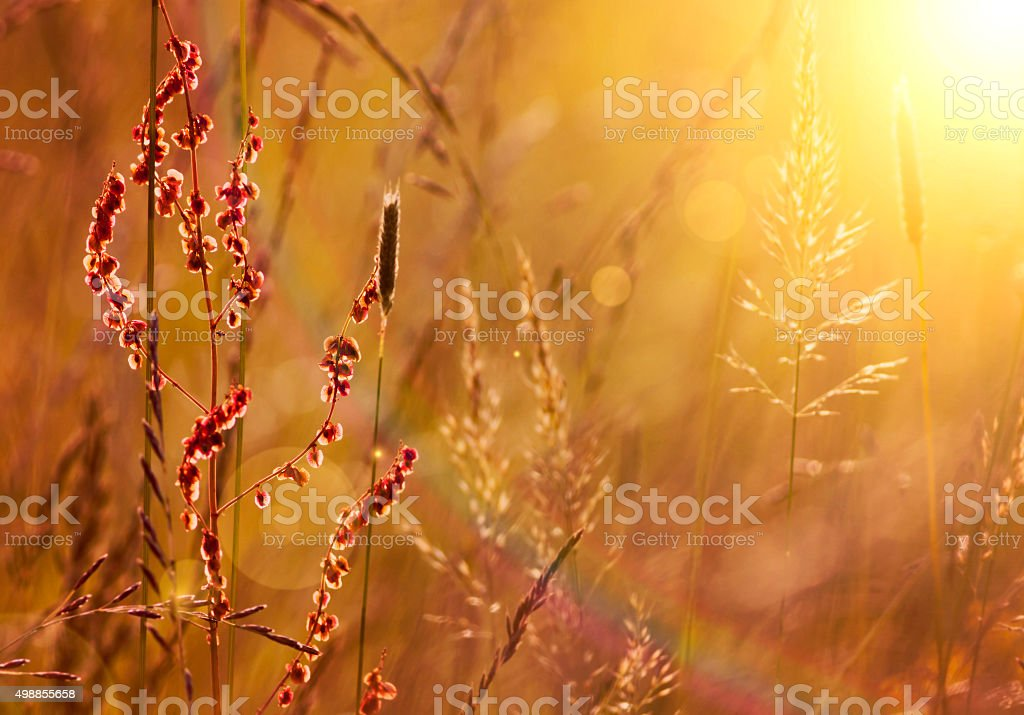Blooming grass and pollen stock photo