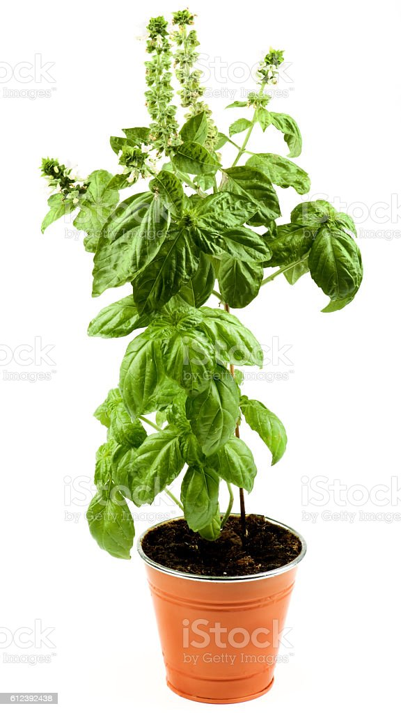 Blooming Green Basil stock photo
