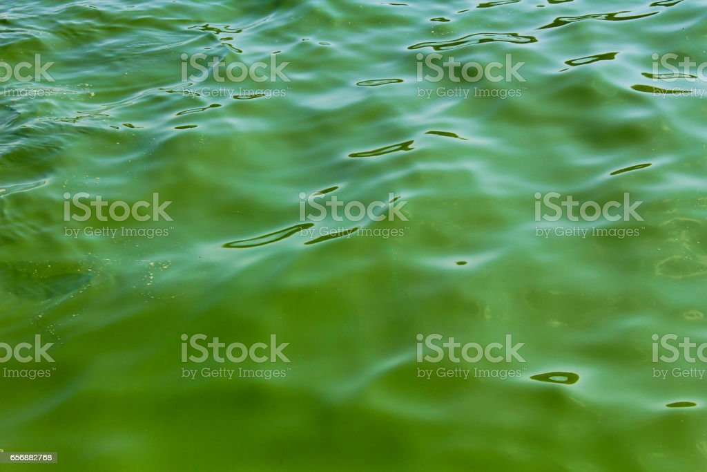 Blooming green water. Green algae polluted river stock photo