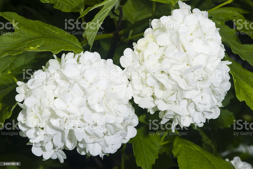 Blooming Guelder rose, Viburnum opulus, flower clusters close-up, selective focus stock photo