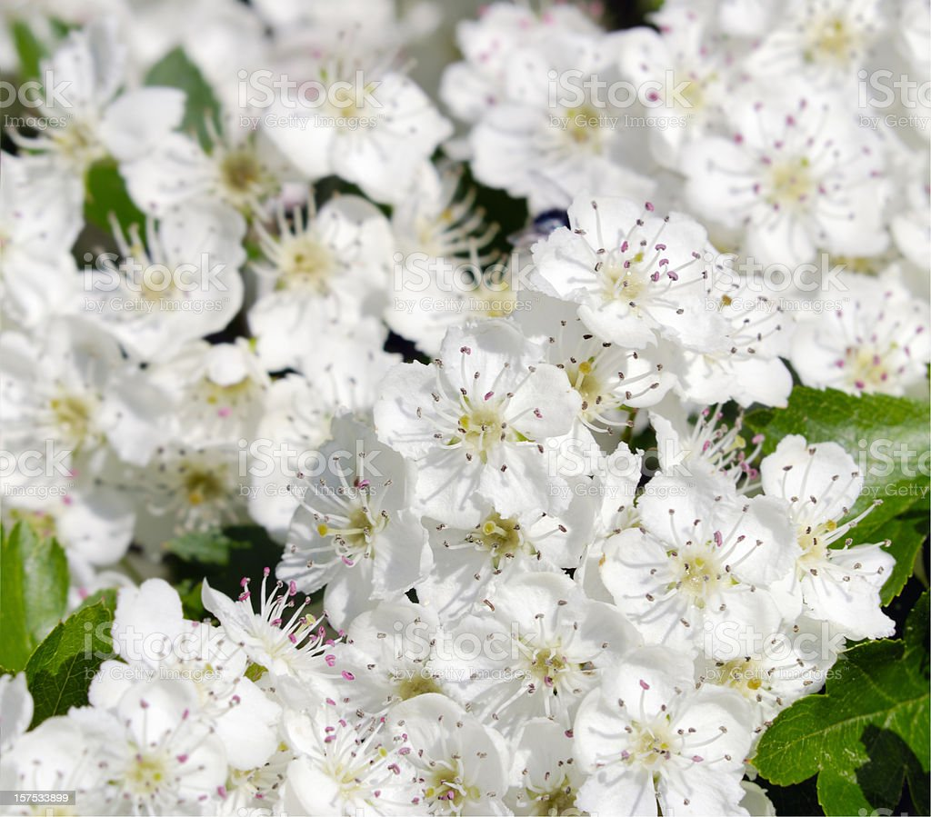 blooming hawthorn royalty-free stock photo
