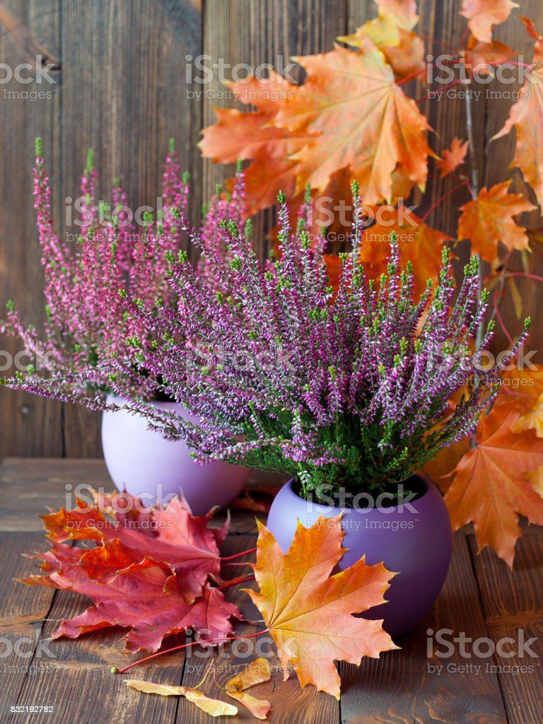 Blooming heather and colorful maple leaves on a background of brown wooden boards stock photo