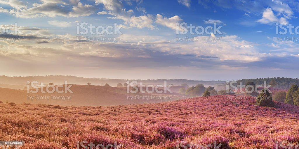 Blooming heather in early morning sunlight, Posbank, The Netherlands royalty-free stock photo
