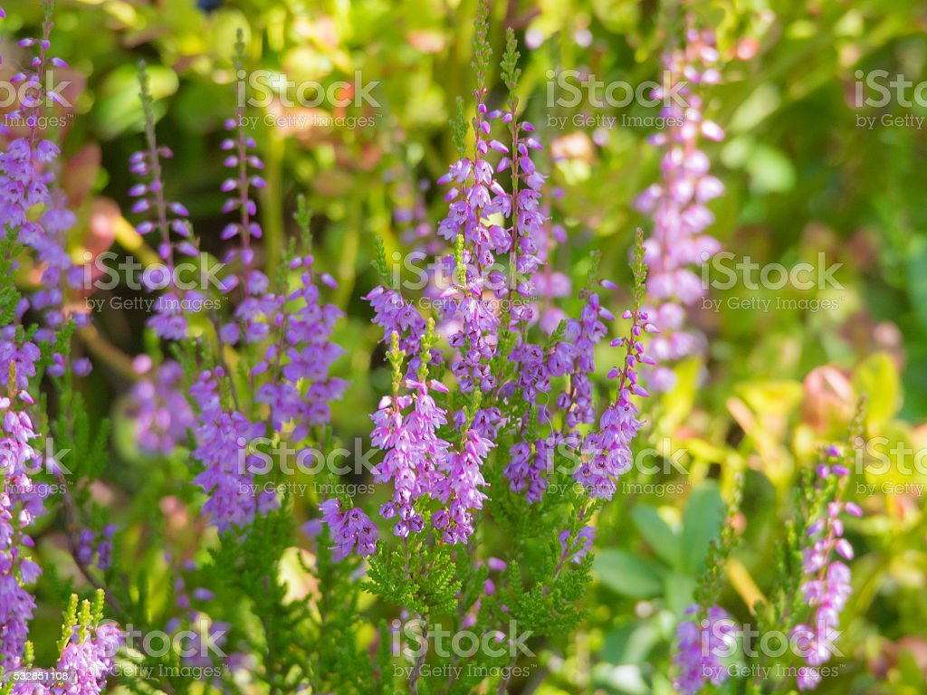 blooming heather in summer stock photo
