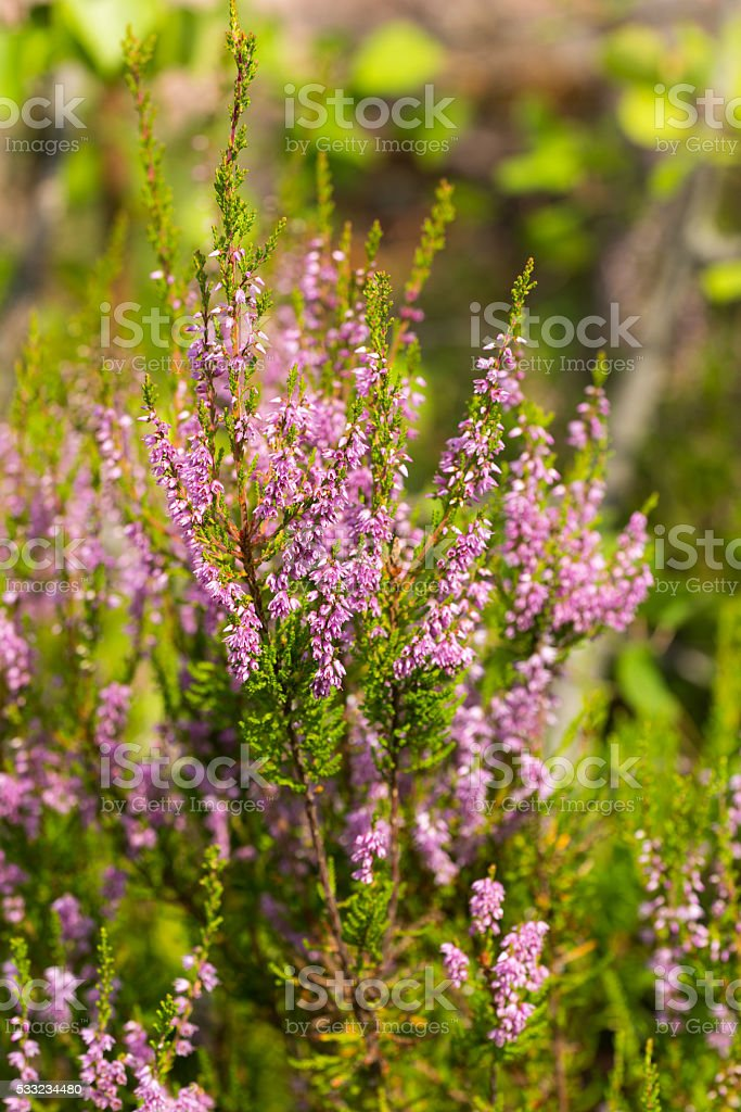 blooming heather stock photo